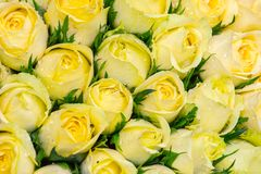 Rosas amarelas bonitas imagem de stock