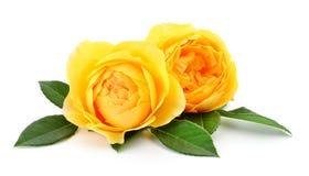 Rosas amarelas bonitas imagens de stock royalty free