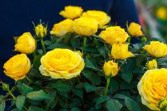Rosas amarelas bonitas em um potenciômetro imagem de stock royalty free
