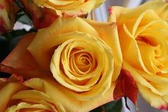 Rosas amarelas bonitas para felicitações imagens de stock