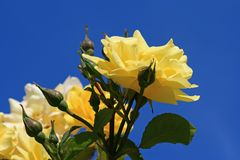 Rosas amarelas de encontro a um céu azul Fotos de Stock