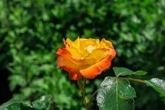 Rosas amarelas de florescência no jardim Fotografia de Stock