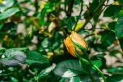 Rosas amarelas de florescência no jardim Fotos de Stock Royalty Free