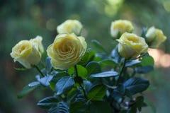Rosas amarelas do ramalhete naturais no fundo verde para o projeto da decoração da celebração Conceito da mola da natureza Fundo  foto de stock royalty free