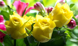 Rosas amarelas macias Fotografia de Stock