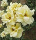 Rosas amarelas macias, bonitas fotos de stock