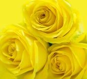 Rosas amarelas no amarelo imagens de stock