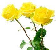Rosas amarelas no branco imagem de stock