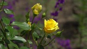 Rosas amarelas no ramo O fundo é fora de foco Fotografia de Stock Royalty Free