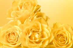 Rosas amarelas Pastel com fundo das gotas Foto de Stock Royalty Free