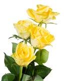 Rosas amarillas aisladas Imagen de archivo libre de regalías