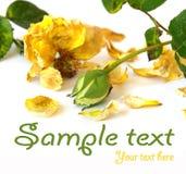 Rosas amarillas aisladas en blanco fotografía de archivo libre de regalías