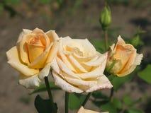 Rosas amarillas claras Imagenes de archivo