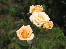 Rosas amarillas claras Foto de archivo libre de regalías