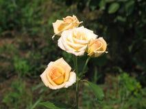 Rosas amarillas claras Fotos de archivo libres de regalías