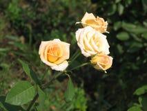 Rosas amarillas claras Imagen de archivo libre de regalías