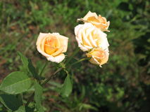 Rosas amarillas claras Imagen de archivo