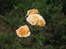 Rosas amarillas claras Foto de archivo