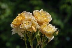 Rosas amarillas con el fondo verde imagen de archivo libre de regalías