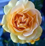 Rosas amarillas de las rosas amarillas simbolizar fotografía de archivo libre de regalías