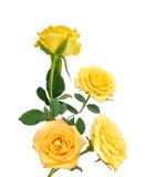 Rosas amarillas encantadoras Imagen de archivo libre de regalías