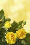 Rosas amarillas frescas en jardín soleado verde Imagen de archivo