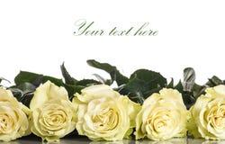 Rosas amarillas hermosas Imagen de archivo libre de regalías