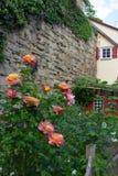 Rosas amarillas rosadas foto de archivo libre de regalías