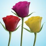 Rosas amarillas rosadas rojas Foto de archivo