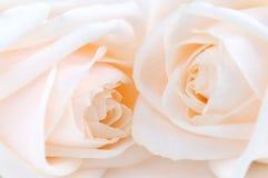 Rosas amarillentas Fotos de archivo libres de regalías