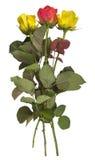 Rosas - amarillo y rojo aislados Fotografía de archivo