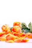 Rosas anaranjadas Imágenes de archivo libres de regalías