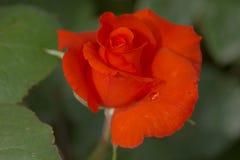 rosas anaranjadas Imagen de archivo libre de regalías