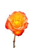 Rosas anaranjadas del lápiz labial del primer uno aisladas. foto de archivo libre de regalías