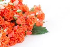 Rosas anaranjadas del verdadero arbusto suave en blanco Foco selectivo Copie el espacio Aislado foto de archivo