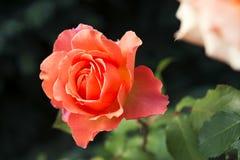 Rosas anaranjadas en el jardín Foto de archivo libre de regalías