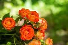 Rosas anaranjadas en fondo verde fresco de la hoja Foto de archivo libre de regalías