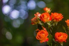 Rosas anaranjadas en fondo verde fresco de la hoja Fotografía de archivo libre de regalías