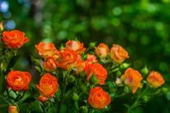 Rosas anaranjadas en fondo verde fresco de la hoja Imagenes de archivo