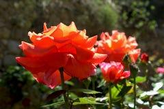 Rosas anaranjadas en un día soleado fotos de archivo