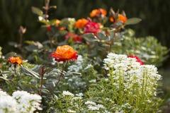 Rosas anaranjadas en un jardín Imágenes de archivo libres de regalías