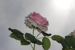 Rosas búlgaras mayas rojas contra la perspectiva del tiro color de rosa del skyPink azul contra la perspectiva de un cielo cambia fotos de archivo libres de regalías