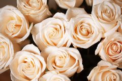 Rosas bege cor-de-rosa macias com gotas de orvalho Foco seletivo Close-up horizontal Modelo para o cartão, meio social imagens de stock royalty free