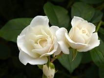 Rosas blancas Imágenes de archivo libres de regalías