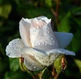 Rosas blancas con descensos del agua Fotos de archivo