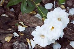 Rosas blancas en el fondo de la corteza Foco selectivo, imagen entonada, efecto de la película Imagenes de archivo