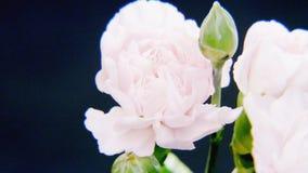 Rosas blancas en fuertes lluvias Foto de archivo