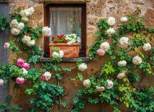 Rosas blancas en la pared de la casa en la ciudad Civita di Bagnoregi Foto de archivo libre de regalías