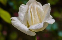 Rosas blancas en un jardín después de la lluvia Imagen de archivo libre de regalías