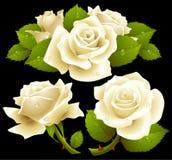 Rosas blancas fijadas Foto de archivo